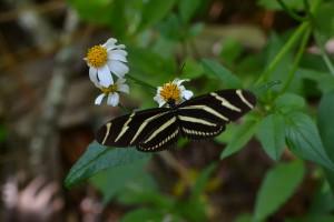 Smuk tigersommerfugl i flg E