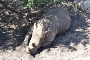 Otto er et næsehorn...